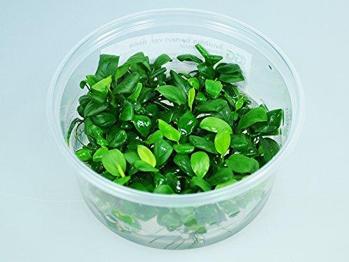 Guemmer Plant Anubias barteri VAR. Nana - in vitro Bechergröße 8.5cm XL, frei von Schadstoffen, Algen und Ungeziefer