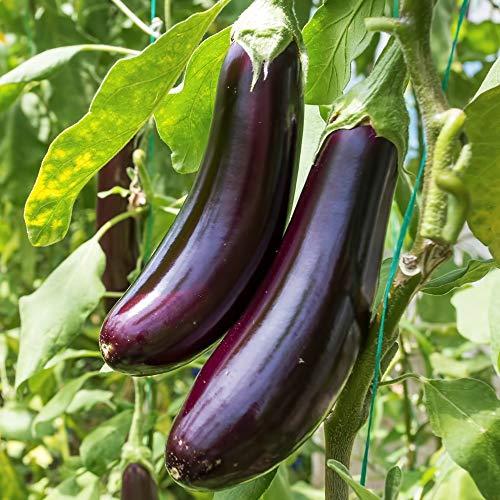 Samen für ca. 20 Pflanzen Gobi Aubergine – 15-20cm lange Früchte, dunkelviolett