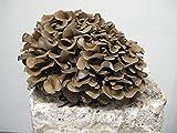 Maitake mushroom Hen of the woods 10cc live liquid culture syringe