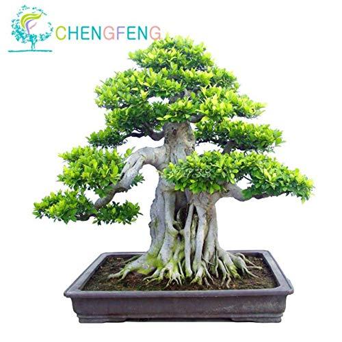 ShopMeeko Seeds:100pcs A Bag Banyan Tree Bonsai Ficus Ginseng Bonsai Chinese Rare Ficus Microcarpa Tree Green Bonsai DIY Home Garden : Black