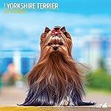 Yorkshire Terrier Traditioneller Kalender 2021