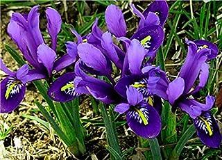 Portal Cool 20 Enano Iris reticulata otoño de jardinería Bule magia de los bulbos de flores de primavera Corm