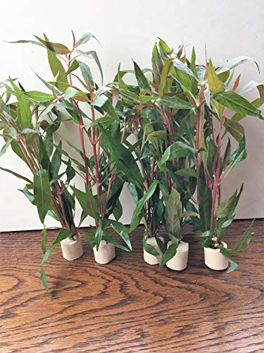 1 Bund Alternanthera Rosaefolia Papageienblatt Aquarium, Wasserpflanzen Aquarienpflanzen