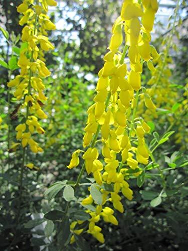 Cytisus nigricans Cyni - Schwarzer Ginster Cyni