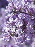さくら 長寿桜 チョウジュサクラ 桜苗木 沈丁花科 落葉樹