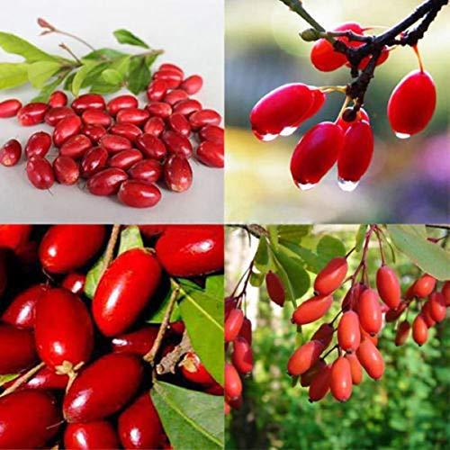 Dovlen 20Pcs Seltene Wunder Frucht- Samen Synsepalum Dulcificum Samen Gartenpflanze Frische Dekor