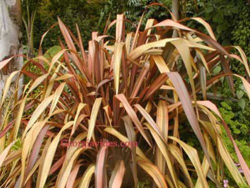 Phormium Tenax graines arc-en-Stripes10