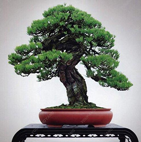 50 semillas de pino Piezas / Lote semillas de árboles de hoja perenne pino japonés semillas de árboles bonsai de pino de hoja de acebo de semillas