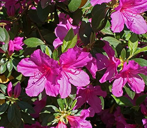 1 PIANTA di Azalea Japonica Purple Splendor Vaso 19CM