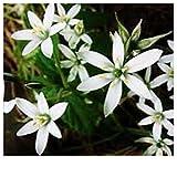 AGROBITS Étoile de Bethléem Ornithogalum Umbellatum 2 Ampoule hiver Hardy Plante à bulbe