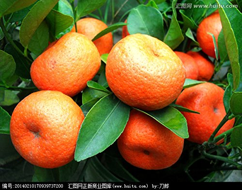 50 graines / sac Rillettes comestibles Graines de fruits Bonsai Escalade Graines Oranger