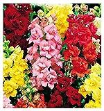semi di bocca di leone doppia in miscuglio - verdure - antirrhinum majus - 400 sementi approssimativamente - i migliori semi di piante - fiori - frutti rare - bocche di leone - idea regalo originale