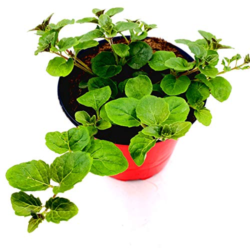 Indian Mint Hängeminze Satureja douglasii Kräuter Pflanzen 1stk.