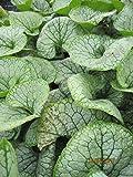 Brunnera macrophylla Jack Frost - Kaukasus-Vergissmeinnicht Jack Frost Preis nach Stückzahl 3 Stück