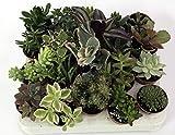 Succulente. Set N. 20 piante succulenti in vaso cm. 5,5 tutte senza spine Foto indicativa