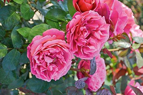'Elbflorenz' (R), Duft-Edelrose (Teehybride), ADR-Rose im 4 Liter Container