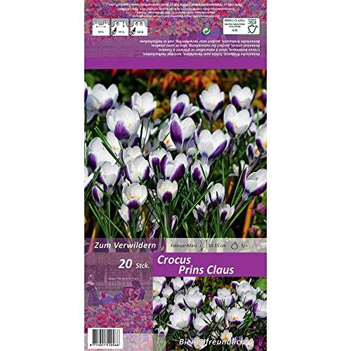 Florado 20x Kleiner Garten-Krokus Blumenzwiebeln `Prins Claus`, Krokusse Zwiebelblumen, Garten, Schnittblumen, Bienen Insekten, Größe 5/+