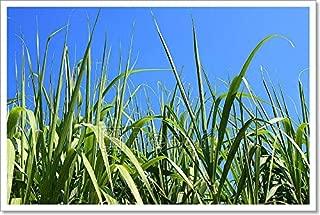 Barewalls Sugarcane Field Closeup Paper Print Wall Art (16in. x 24in.)
