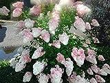 Rispenhortensie `Vanille Fraise´, ca. 40-60cm, gut verzweigt, mehrtriebig, im Topf