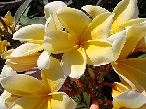 Hawaiian Yellow Melemele Plumeria Frangipani Plant Cutting