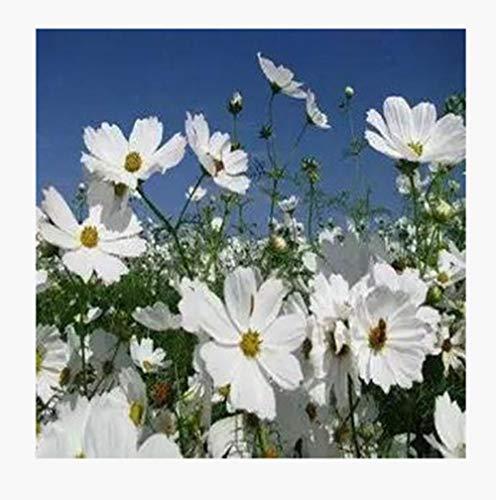Blumensamen mehrjährig,Kosmosblumenart...
