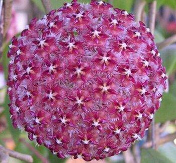 100pcs / sac Vente Hot arc Hoya Rare Graines Outdoor Blooming Bonsai plantes en pot de fleurs Maison et Jardin Livraison gratuite 11