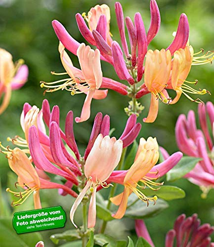 BALDUR Garten Geißblatt Goldflame 1 Pflanze Lonicera heckrottii