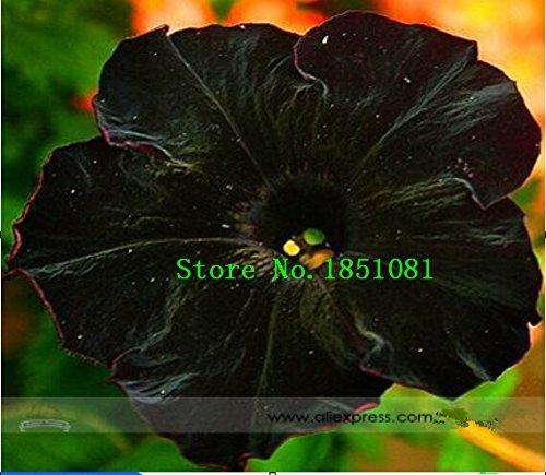 Seltene super schwarze Katze Petunie Blumensamen, Profi Pack, 100 Samen / Pack, neue jährliche Bonsai Petunie