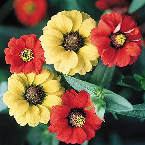Zinnia SẸẸDS for Plạnting - Peruvian Red & White Zinnia SẸẸDS Zinnia Peruviana 8 SẸẸDS/Pack