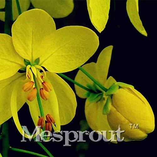20PCSThailand Cassia Fistula Graines d'or Rain Tree floraison jaune Saucisse espèces d'arbres taux de germination est de bonnes graines de paysages
