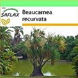 SAFLAX - Garden to Go - Pata de elefante - 10 semillas - Con macetero de barro, platillo, sustrato para cultivo y fertilizante - Beaucarnea recurvata