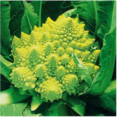 Tomasa Gartensamen- Blumenkohlsamen Bio Brokkoli Romanesco Riesen Gemüsesamen Lila Brokkoli Samen Garten gesund Brokkoli winterhart mehrjährig