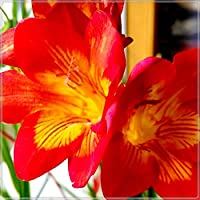 美しい観賞用花,フリージア球根,ゴージャスなマルチカラーフラワーミックス-30 球根,2