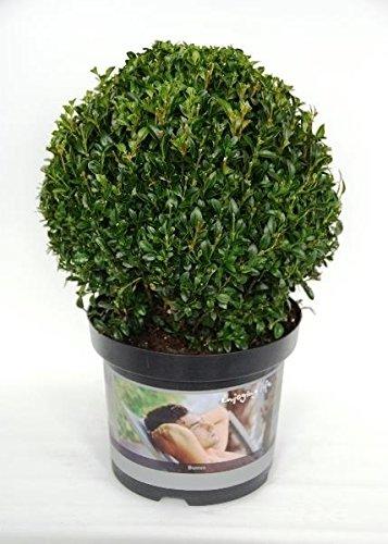 verschiedener Buchsbaum Buchsbaum Pflanzen im Topf Buxus (Kugel Ø 17 cm)