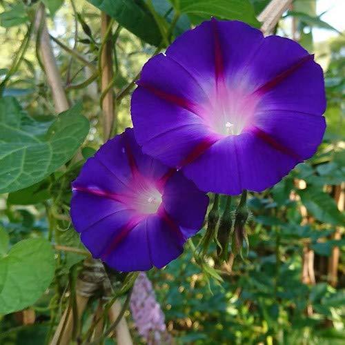 Plant World Seeds - Ipomoea Purpurea 'Bohemian Shades' Seeds