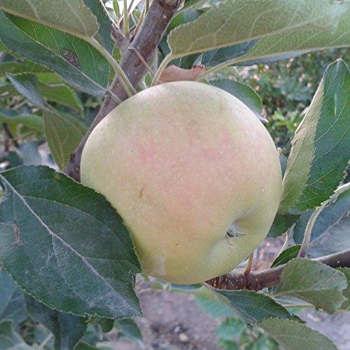Manzano - Manzana verde/amarilla - Maceta 26cm. - Altura aprox. 1'20m. - Planta viva - (Envíos...