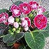 Vistaric ZLKING 100pcs Cinese Molto Bello Rosso Gloxinia Semi di Bonsai Natura Fresca Tutte Le Stagioni Disponibili Decorazione Semi in Vaso pianta #1
