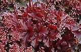 Forever Red Coral Bells - Heuchera - Shade Perennial - Deep Red - Gallon Pot