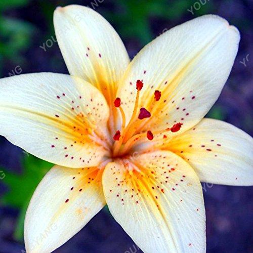 100 / sac blanc péruvien Lily Graines péruvienne Lily Mix (Alstroemeria) Graines de fleurs vivaces pure pour les plantes Bonsai pour jardin Brown