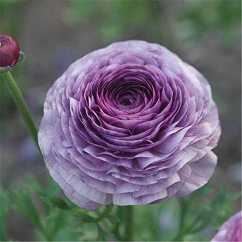 Ranunculus Bulbs - Pretty Gardening Pleasant Beautiful Plants Balcony Rare Species,Purple,3 Bulbs