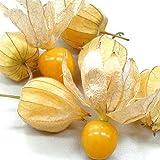「ほおずきトマト(ゴールデンベリー)一度食べると独特の食味でリピーター続出!!」【野菜苗 9cmポット/3個セット】食用のホオズキで、青果物ではゴールデンベリーなどの名称で販売されています。普通のトマト程度に背が高くなる、多収穫タイプ!!果実は直径2cm前後、果重は10g前後。糖度は12~15 度、完熟青果はまるでマンゴーのような独特の甘い香り。果実の着果性にすぐれ、節成り品種で多収性。ホオズキのまま落果しても拾って食べれます。ジャムやお菓子にも最適!! 自社農場から新鮮直送!!(地域により遅霜にご注意ください)