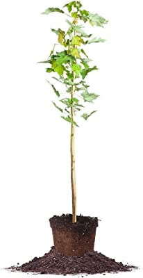 Perfect Plants October Glory Red Maple Tree Live Plant, 4-5ft, Includes Care Guide