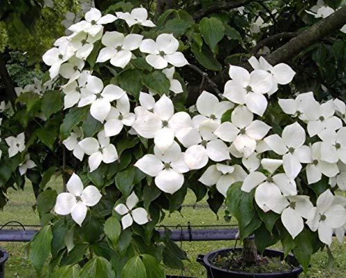 Cornus kousa Typ Helmers - Chinesischer Blumenhartriegel Typ Helmers