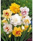 Kisshes Seedhouse - 100pcs Jonquille Graines Mixtes Résistant au Froid, Parfumées,Vivaces Narcisse Fleurs Semences Maison Jardin Extérieur Graines