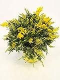 Fiore da Botanicly – Ginestra dei Carbonai – Altezza: 35 cm – Cytisus racemosus