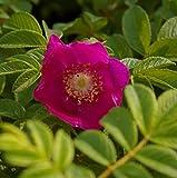 Wildrose - Rosa rugosa - rosa - Duft++ - Kartoffelrose - Apfelrose - Japanrose - Hagebutte Preis nach Stückzahl Einzelpreis