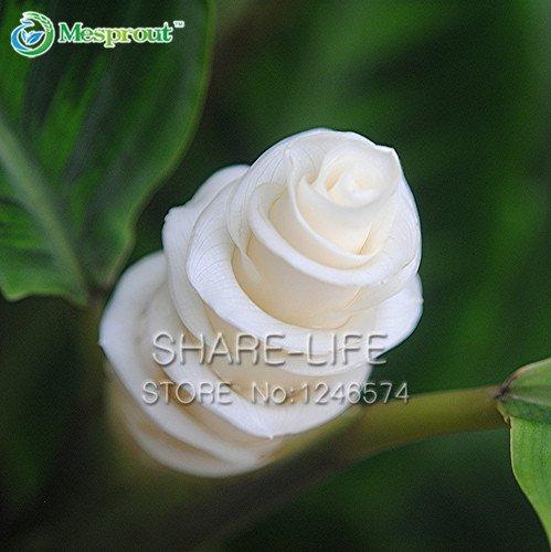 50PCS Calathea warscewiczii GRAINES Ice Cream Flower Gift Flower White Belle pour SHIPPING Amant Garden Bonsai GRATUIT