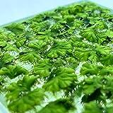 40+ Riccia Water Spangles (+Free Bonus Plant) Live Aquarium Floating Plant (Ricciocarpos Natans) (Single (+1 Bonus Plant))