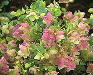 Live Oregano aka Origanum Rotund. 'Kent Beauty' Plant Fit 1 Gallon Pot