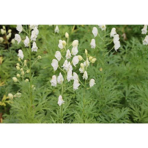 Aconitum napellus 'Schneewittchen' - Garten-Eisenhut 'Schnewittchen' - 11cm Topf